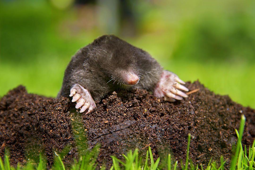 Here S How To Get Rid Of Moles In Your Yard For Good Deer Resistant Shade Plants Mole Deer Resistant Garden