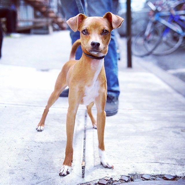 Desi Basenji Italian Greyhound Mix East Village New York Ny