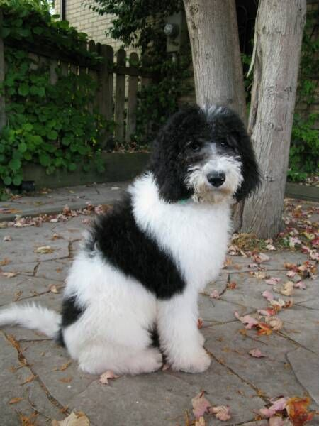 Black And White Goldendoodles - Goldenacresdogs com