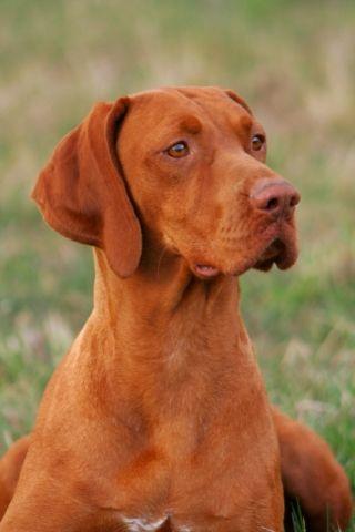 Magyar Vizsla Vizsla Dogs Vizsla Hungarian Dog