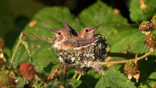 Well see that and babies much active inside nest. Rufous Hummingbird (Part 11/14 15-07-2013) 6Z2K0908-1