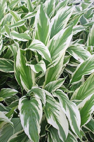plante exotique curcuma longa