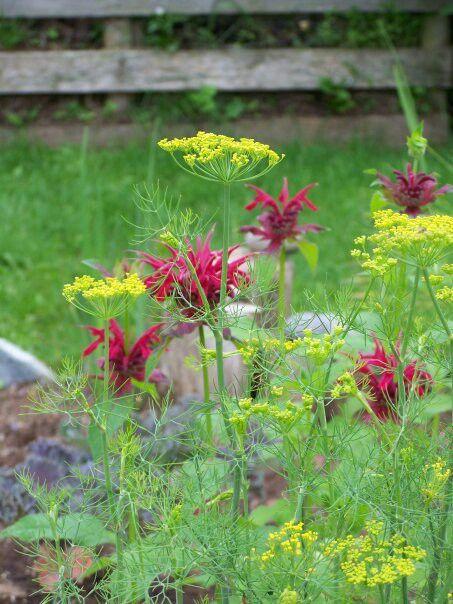 Bee Balm And Dill Companion Planting Plants Garden 400 x 300