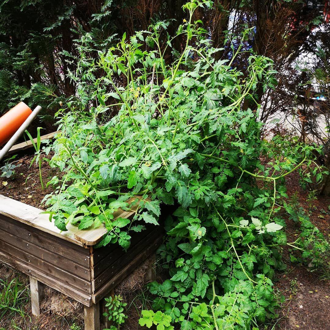 Garten Tomaten Tomatenpflanze Salat Lovely Enjoy Dorf Sh Schleswigholstein Gartnern Grow Beet Hochbeet Weekend Natu Garten Tomatenpflanzen Natur
