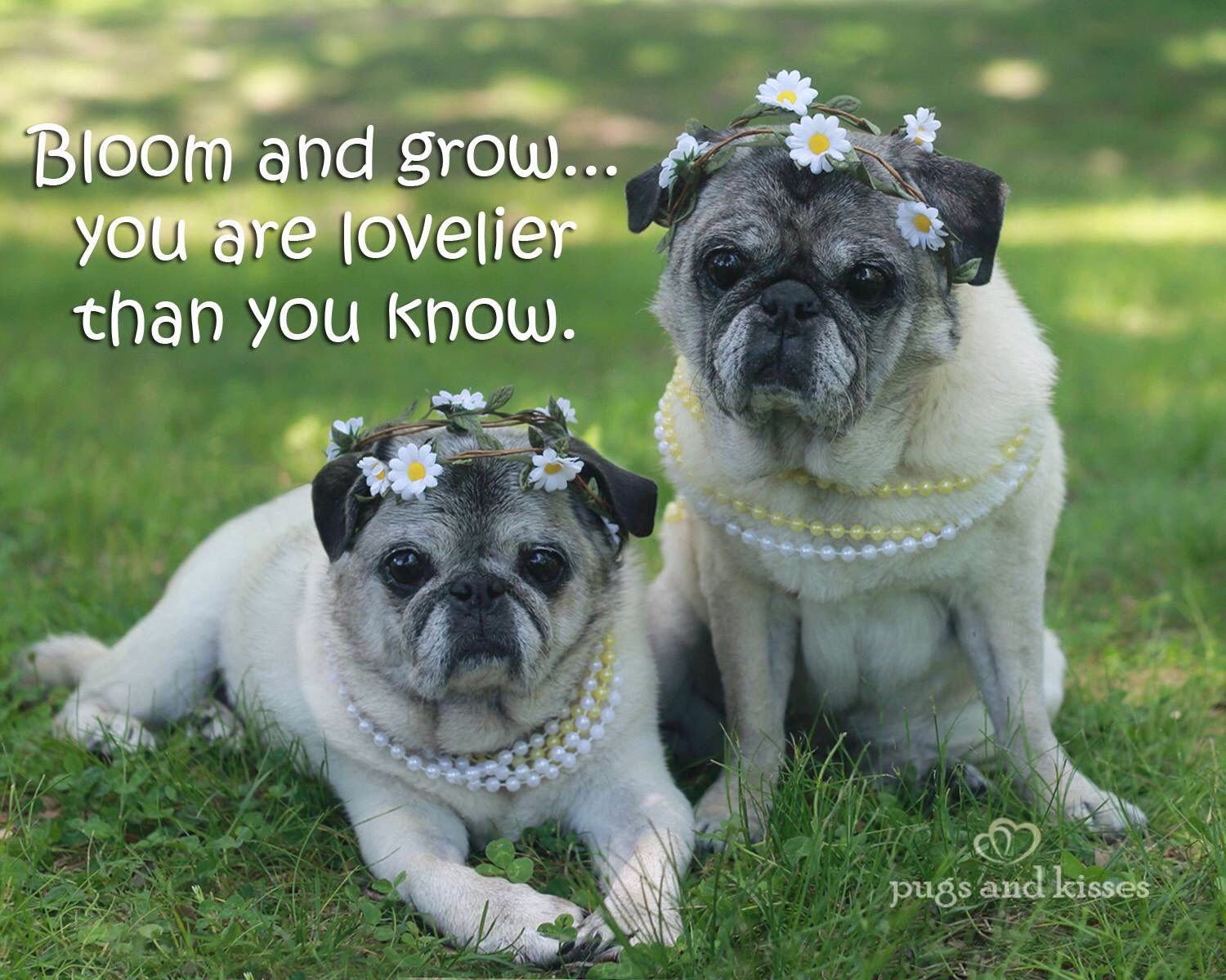 Pugs with flower crowns