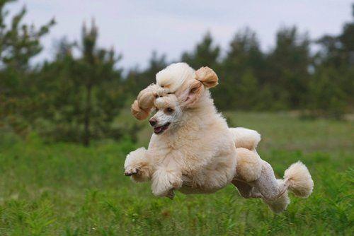Flying Poodles Poodles In Scandinavia Poodle Dog Breeds Beloved Dog