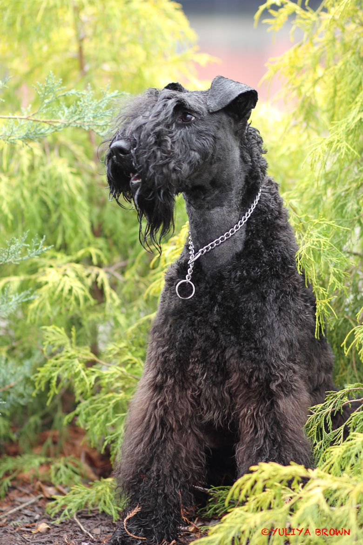 Tintin Kerry Blue Terrier Irish Dog Breeds Terrier Breeds