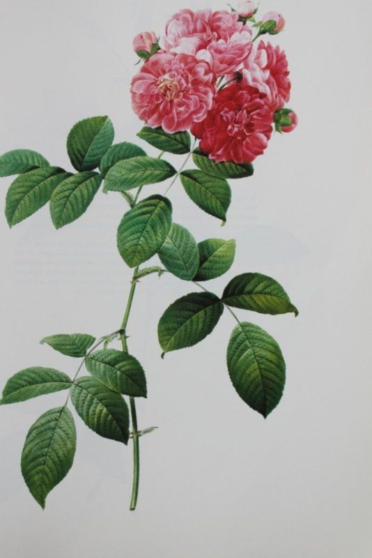 """Pierre Redoute """"Seven Sisters Rose"""""""