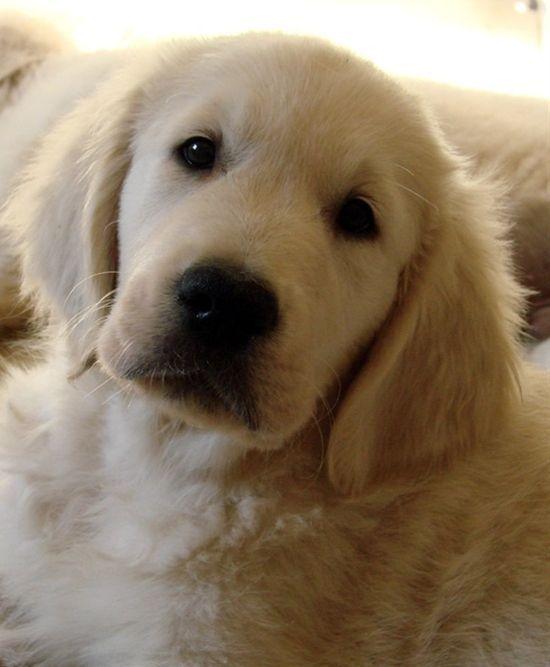 Home Golden Retriever Club Of Usa Animalsandpets