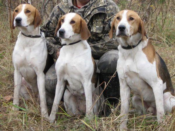 Русская гончая (фото): Идеальная собака для тех, кто любит ...