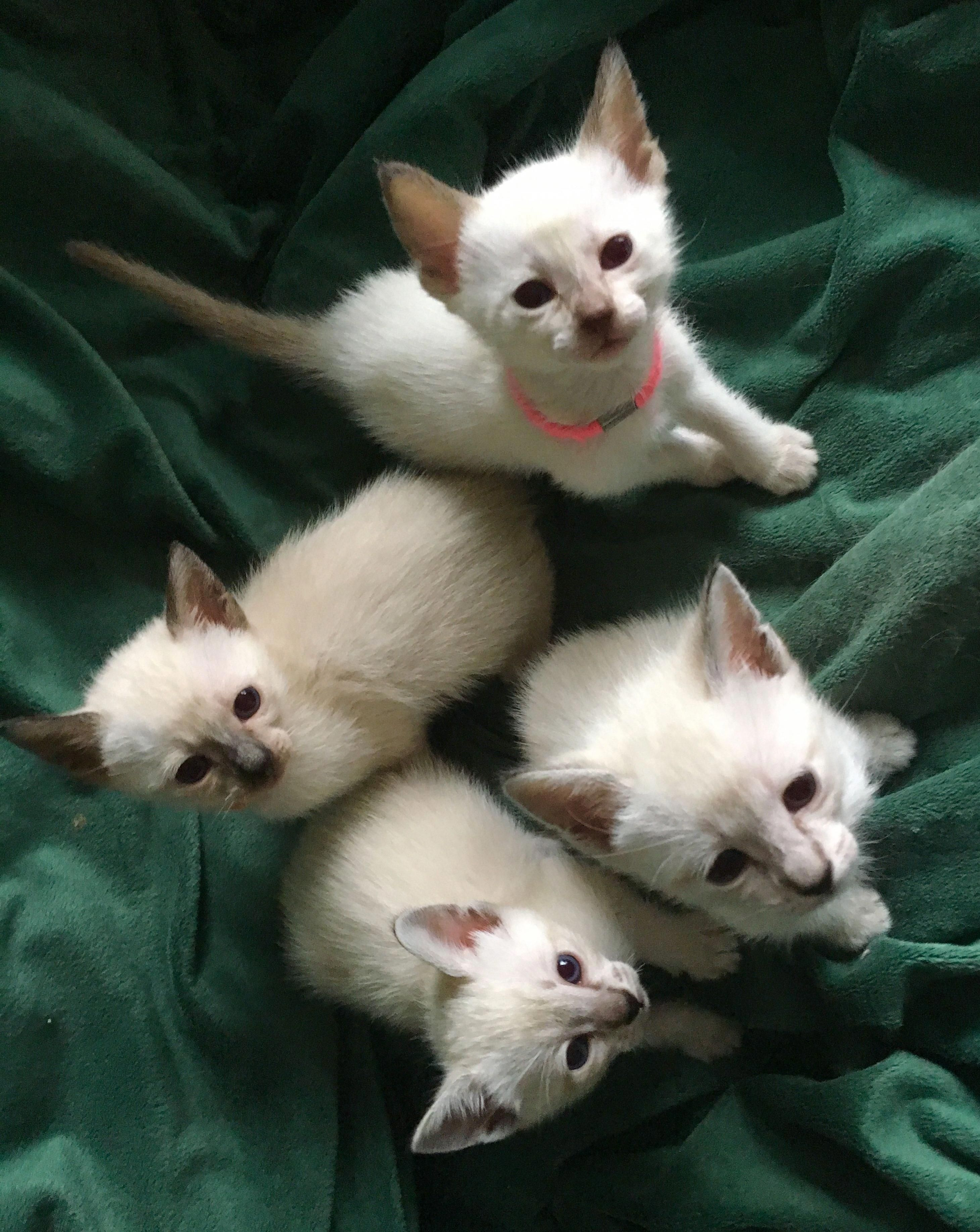 Siamese Cats For Sale Reading, PA catsandkittens