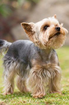 Untitled Yorkshire Terrier Dog Yorkshire Terrier Puppies Yorkie Terrier