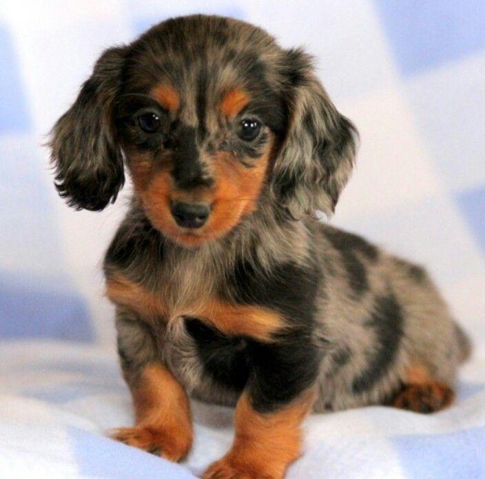 Mini Hairy Dachshund Dachshund Puppy Miniature Dachshund
