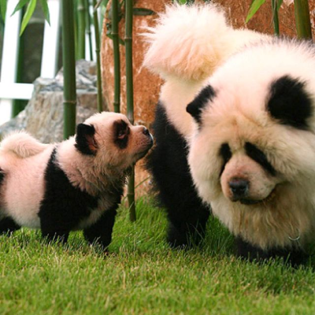 26 Dogs Who Are Having An Identity Crisis Panda Dog Panda Chow
