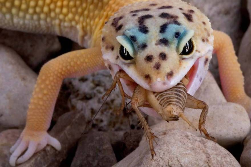 Leopard Gecko Eating A Cricket Leopard Gecko Gecko Pets For Sale