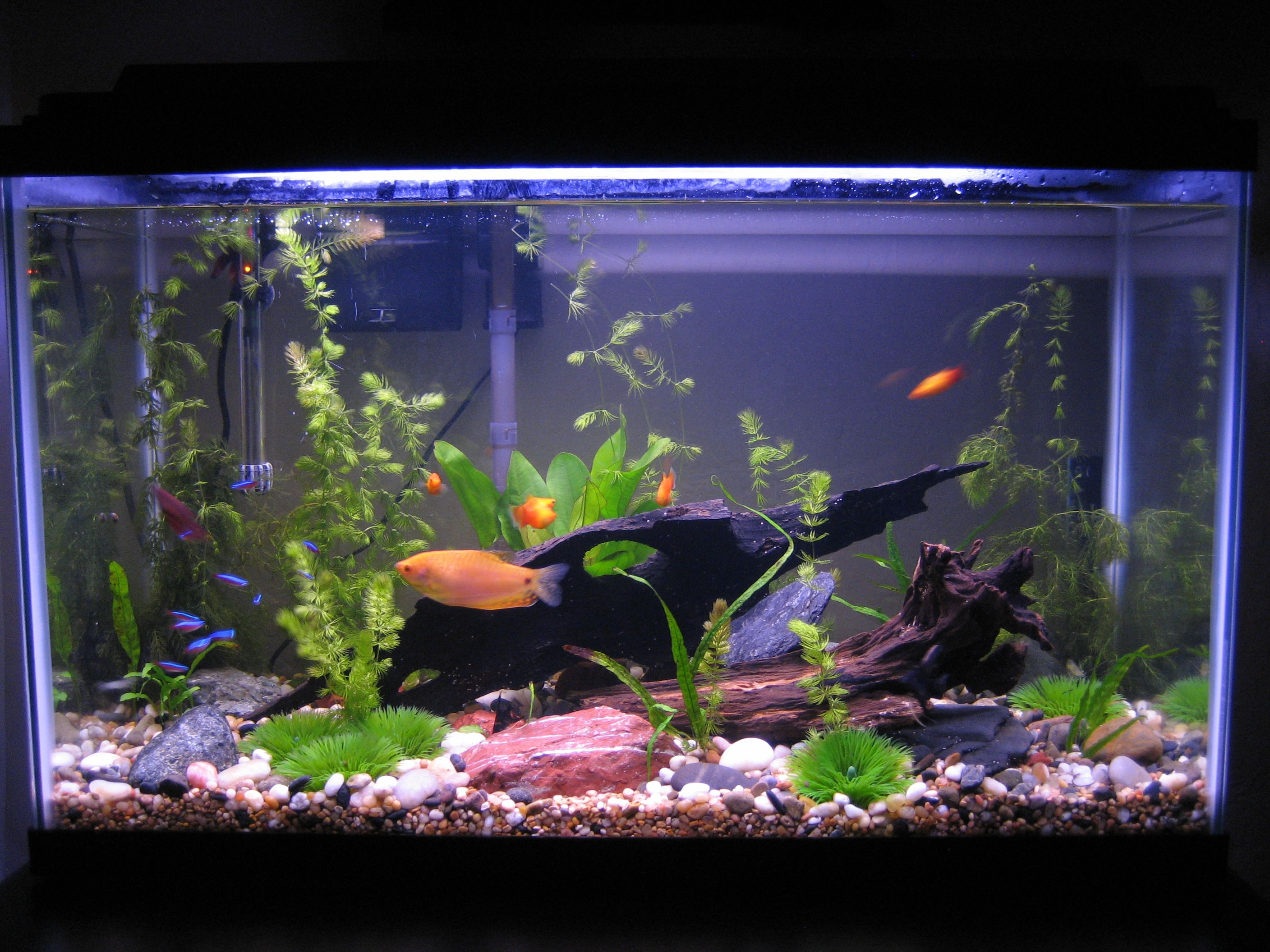 Freshwater Aquarium Plants, Aquarium Ideas, Water Tank, Aquariums, Plant  Care, Fresh Water, Google Images, Aquarium