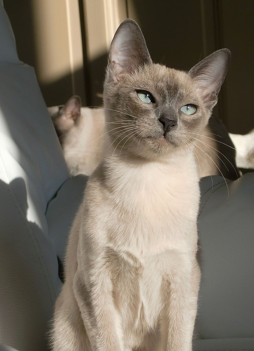 Tonkinese Blue Mink Tonkinese Cat Cute Cats And Dogs Cats