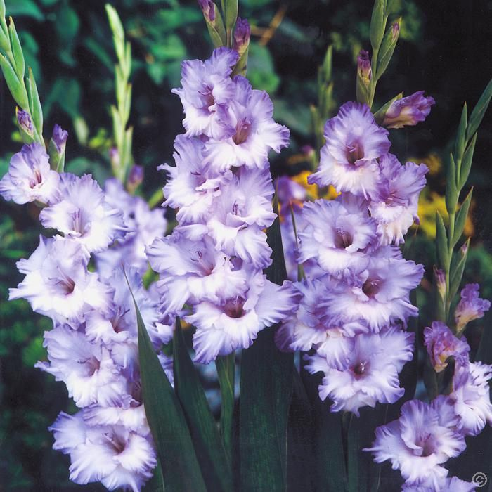 Gladiolus Blue 10 Flower Bulbs Buy Online Order Now Gladiolus Flower Gladiolus Bulb Flowers