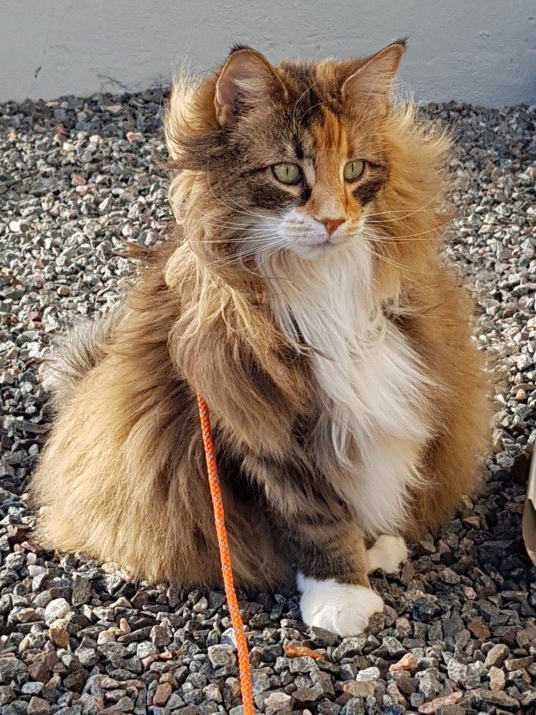 My lovely Norwegian forest cat named Doris Norwegian