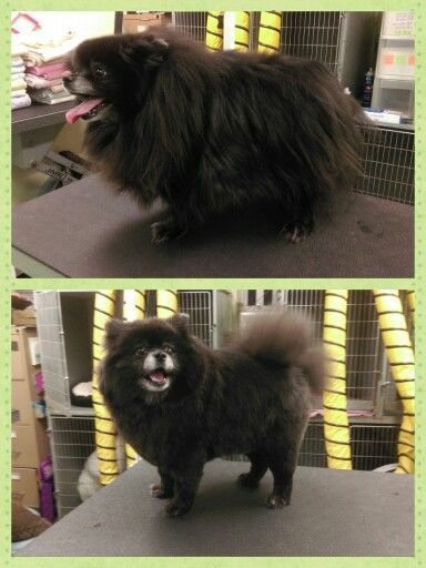 Black Pomeranian Haircut And Black