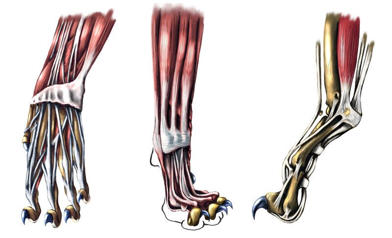 Cat Paw Skeleton Cat Paw Detail Ii By Animal Anatomy Pinterest