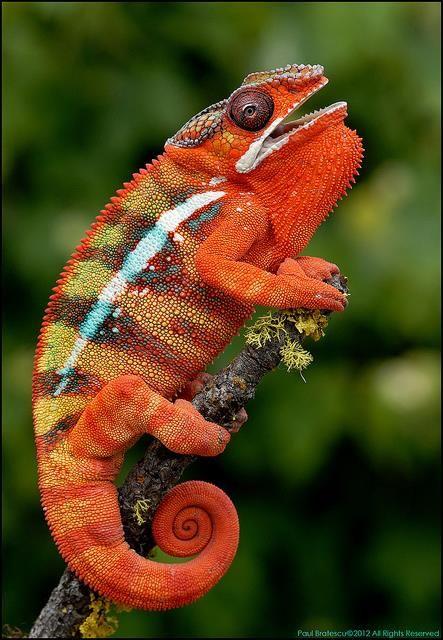 Panther Chameleon Chameleon Pet Animals Animals Beautiful
