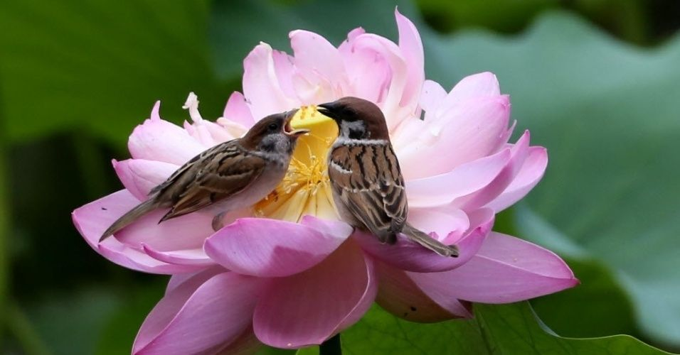 Pardais repousam sobre uma flor de lótus no parque Zizhuyuan, em Pequim, capital da China