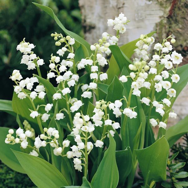 Lily Of The Valley White Item 4473 Convallaria Majalis Lily Of The Valley White Lighting Lily Of The Valley Flowers Valley Flowers Spring Flowering Bulbs