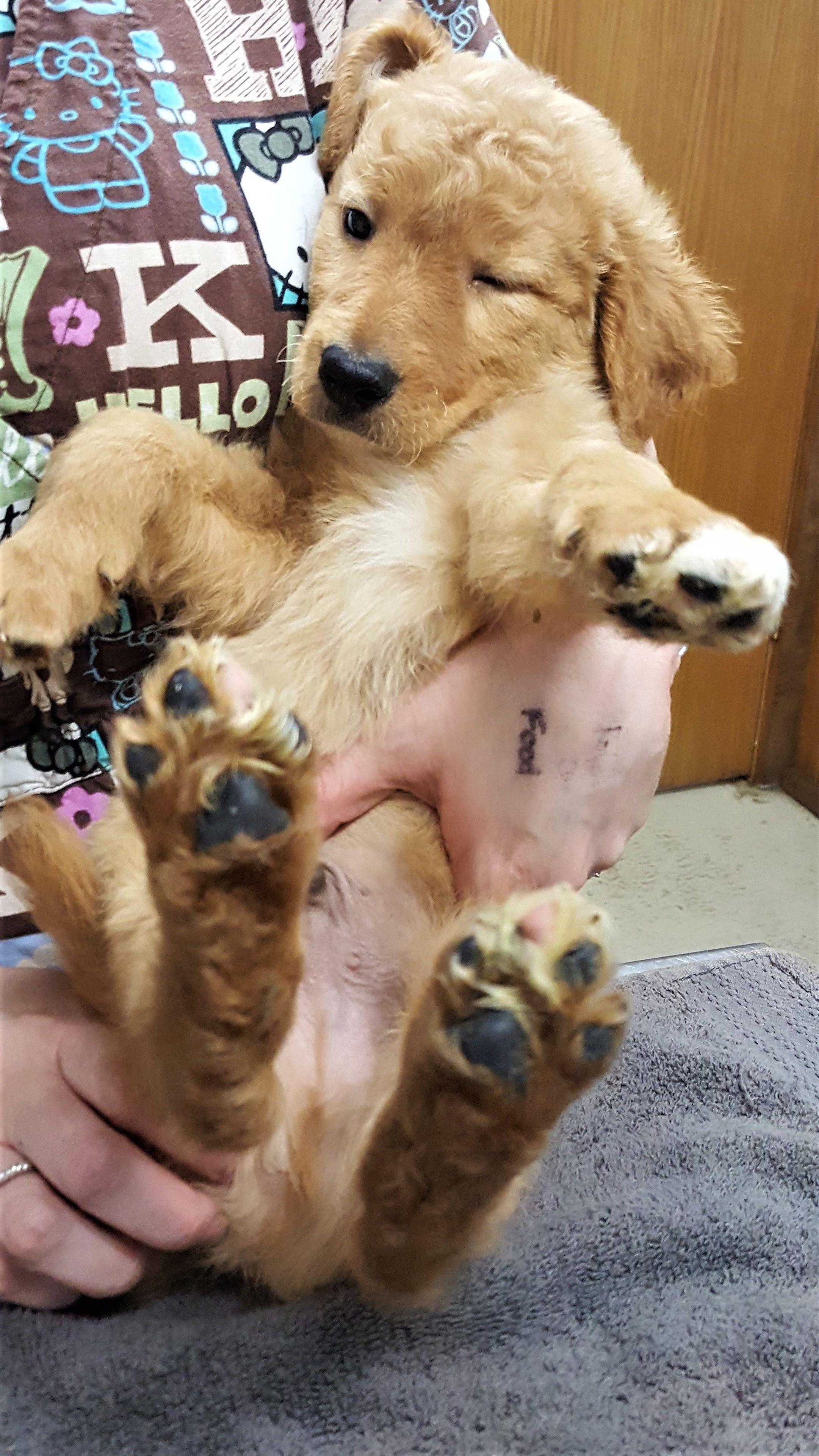 Adopt floyd on dogs golden retriever golden retriever