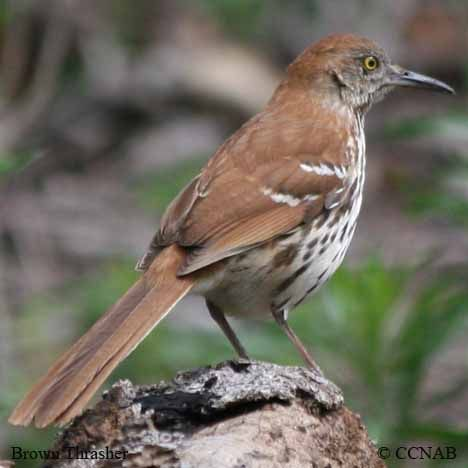 Brown Thrasher Toxostoma Rufum North American Birds Brown