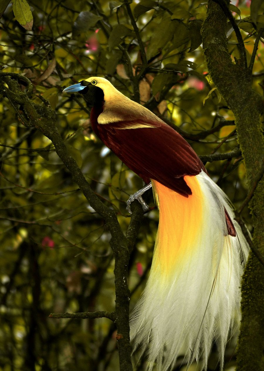 cendrawasih bird