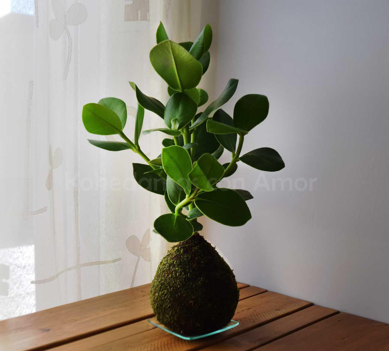 Kokedama clusia clusia rosea plants pinterest for Plante kokedama