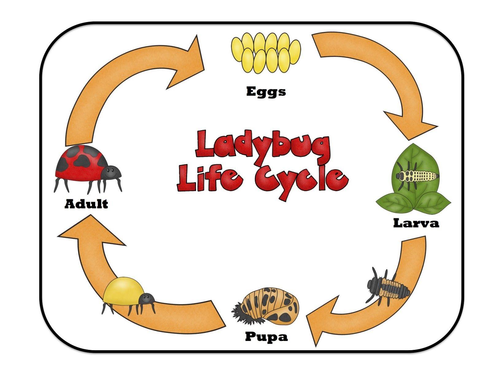 Ladybug Lifecycle With Images