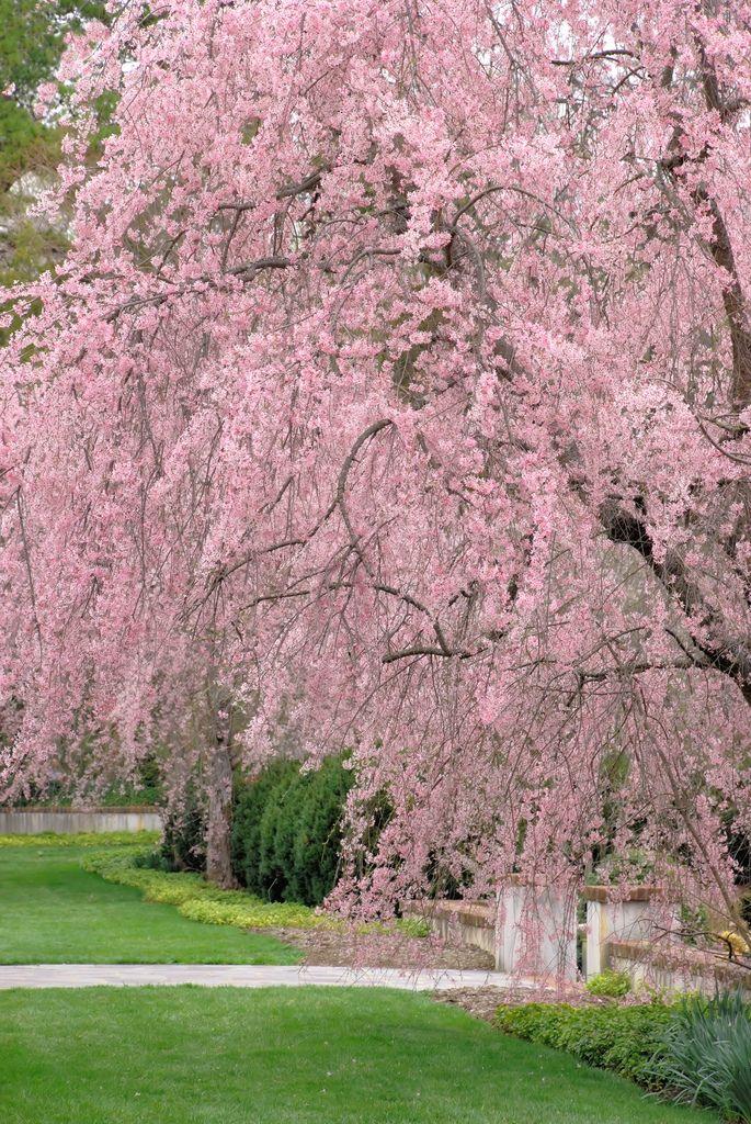 Weeping Cherry Trees At Reynolda Gardens 2 Con Immagini Fiori