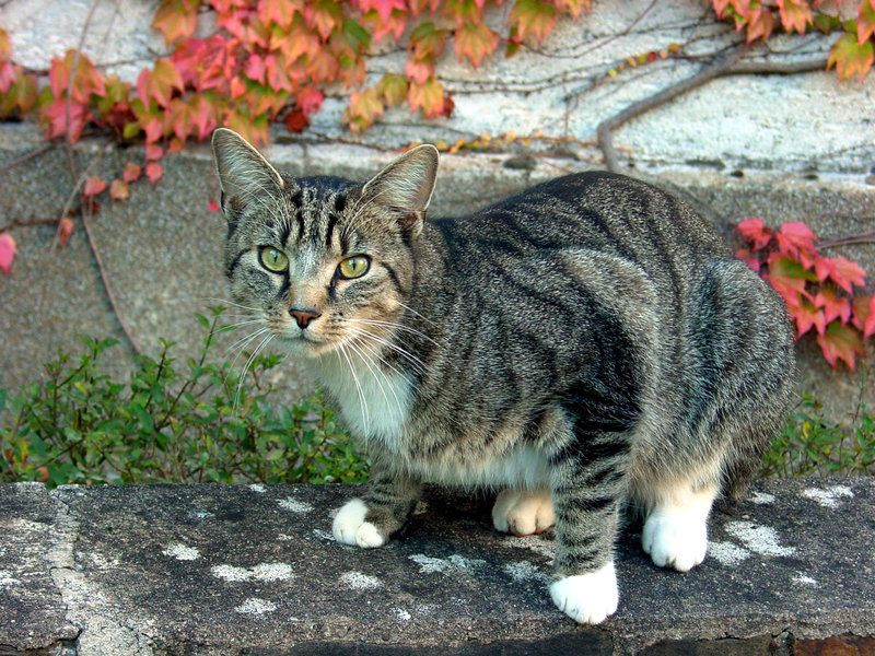 Oakshadow Brown Tabby Tom With White Paws Meadowclan Med Cat