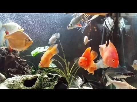 Red Parrot Fish Tank Mates Ikan