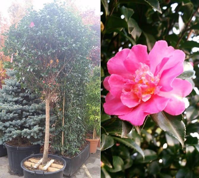 Camellia Sasanqua Sparkling Burgundy Buy Camellias Shrubs Uk Camellia Sparkle Burgundy