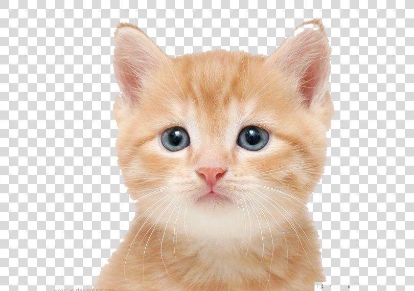 Cat Kitten Puppy Dog Cuteness Cat Png Cat American Wirehair Carnivoran Cat Breed Cat Like Mammal Cats And Kittens Cats Cute Dogs