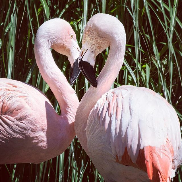 February Is Here And Love Is In The Air Who Will Be Your Date To Our February 11th Valentine S Day Treats For The Ani Flamingo Woodland Park Zoo Valentines