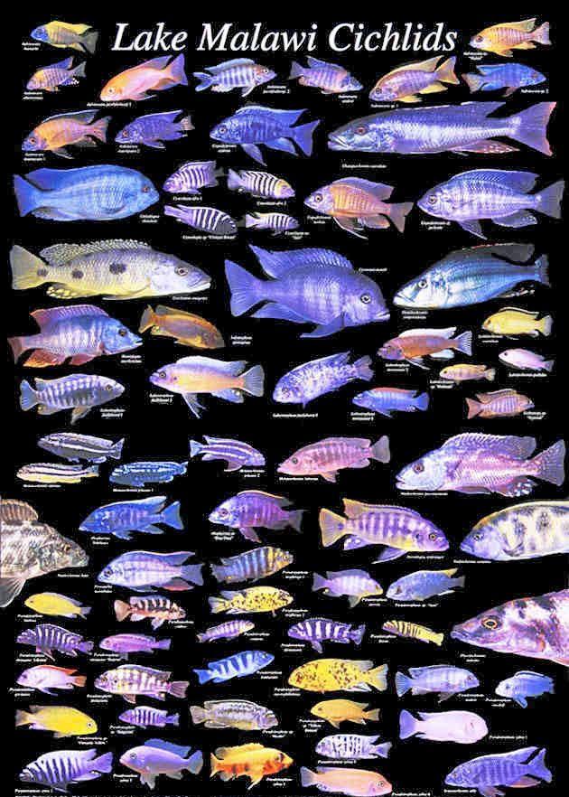All african cichlid species cichlids malawi cichlids for Lake malawi fish