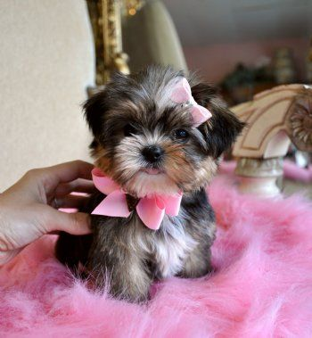 Shorkie Puppy I Must Have A Dog Like This One Day Super Cute Yes