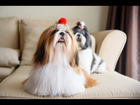 Dogs That Don T Shed And Don T Need A Lot Of Exercise Shih Tzu