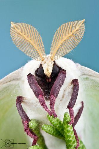 ˚ ~ Actias Luna Moth ~˚