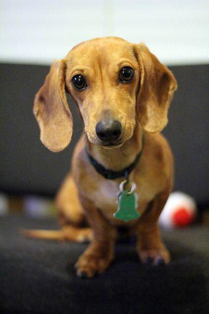 Such A Sweet Face Love Doxies Dachshund Love Weiner Dog Dog