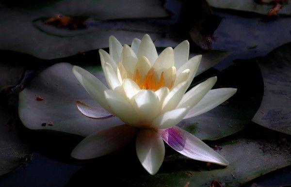 Lotus flower flowers pinterest lotus flower lotus and flower beautiful flowers lotus flower mightylinksfo