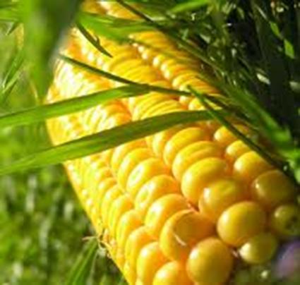 Zagub się w Labiryncie Kukurydzy w Dongen