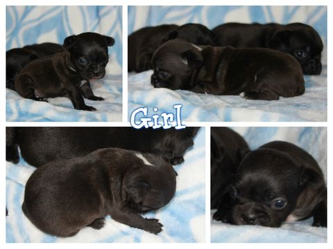 French Bulldog Mix puppy for sale in GRANTS PASS, OR. ADN