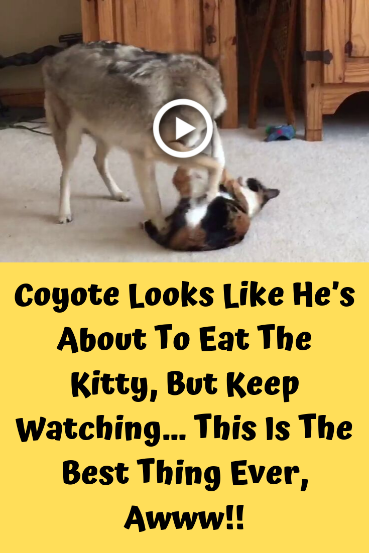 Coyote Looks Like He's About To Eat The Kitty, But Keep