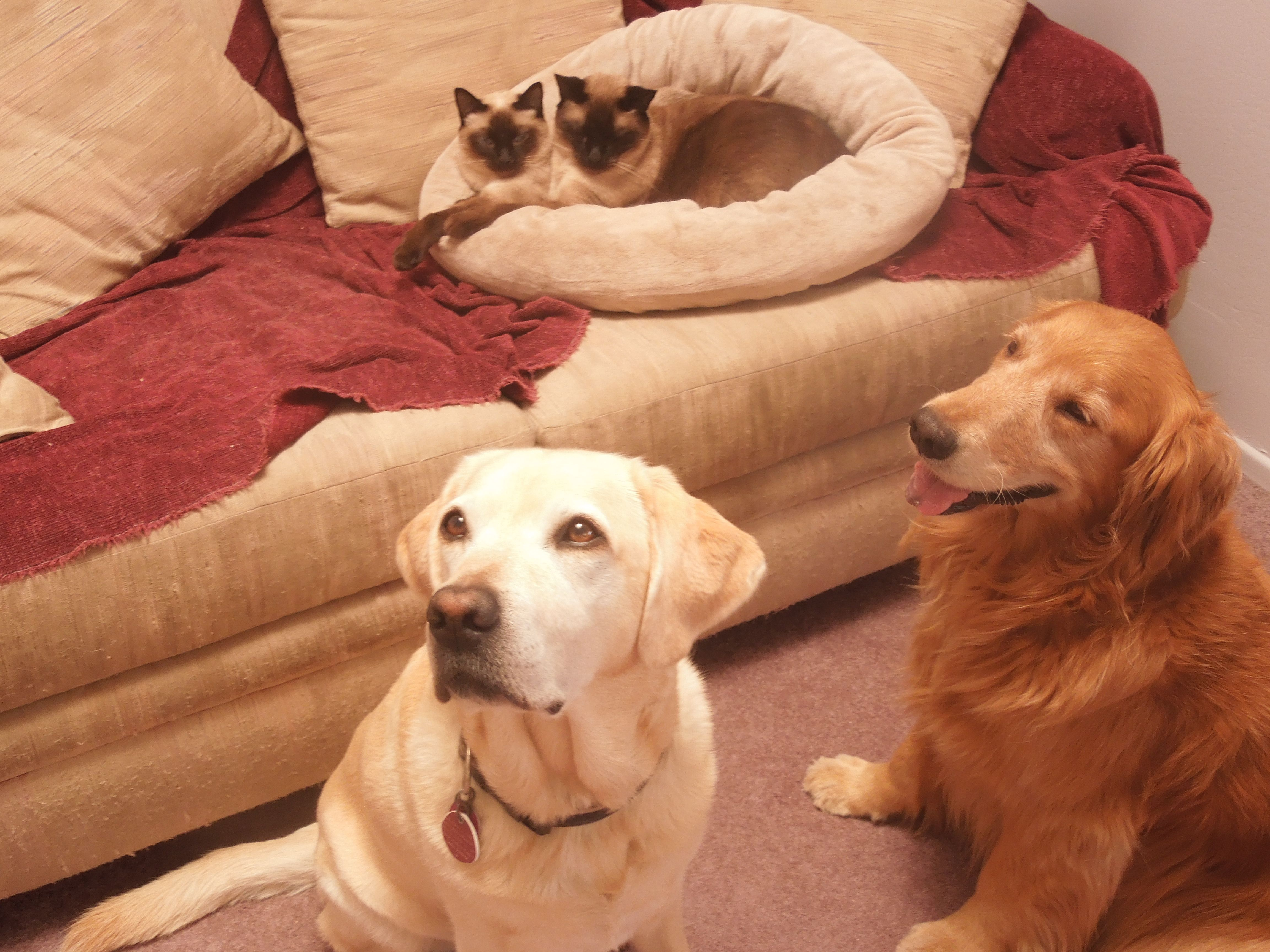 2 Rescued Siamese Cats A Golden Retriever And A Yellow Labrador