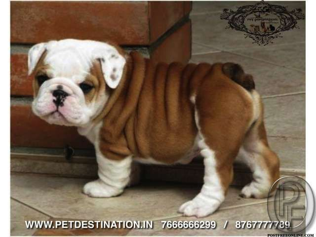 Premium Dogs Cats Birds For Sale 917666666299 In Mumbai
